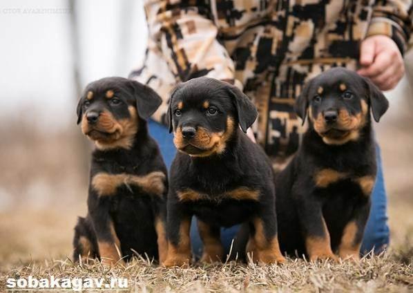 Ротвейлер-собака-Описание-особенности-уход-и-цена-ротвейлера-5