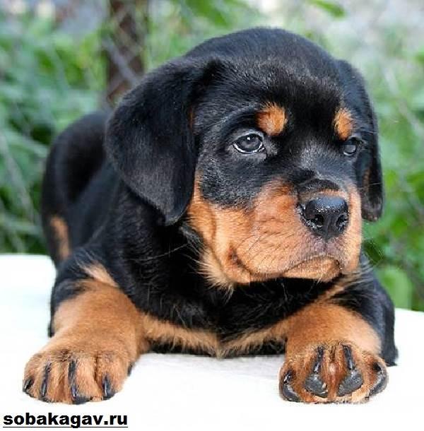 Ротвейлер-собака-Описание-особенности-уход-и-цена-ротвейлера-7