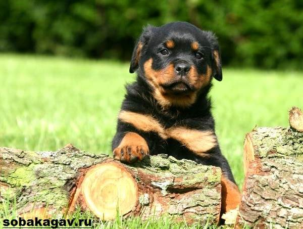 Ротвейлер-собака-Описание-особенности-уход-и-цена-ротвейлера-8