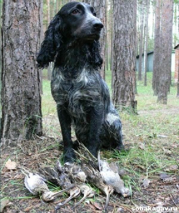 Русский-кокер-спаниель-собака-Описание-уход-и-цена-русского-кокер-спаниеля-10