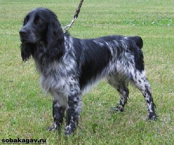 Русский-кокер-спаниель-собака-Описание-уход-и-цена-русского-кокер-спаниеля-2