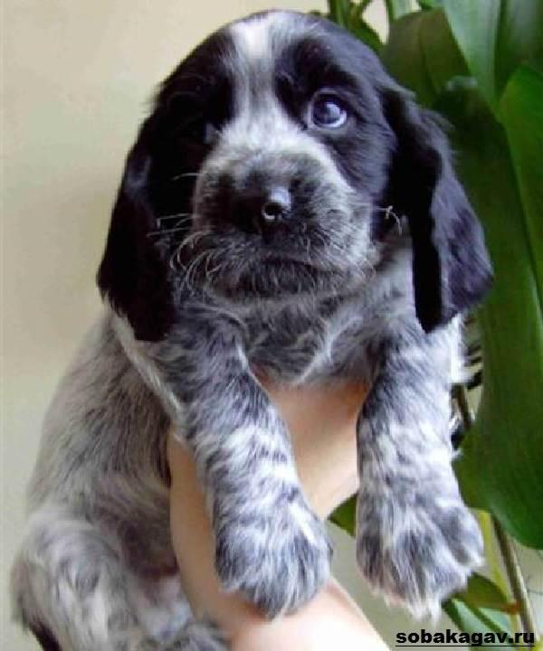 Русский-кокер-спаниель-собака-Описание-уход-и-цена-русского-кокер-спаниеля-5