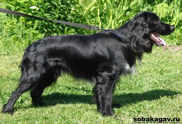 Русский-кокер-спаниель-собака-Описание-уход-и-цена-русского-кокер-спаниеля-6