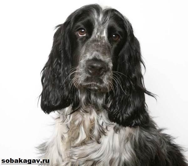 Русский кокер-спаниель - идеальный товарищ на охоте и дома