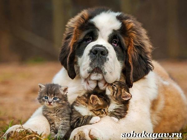 Сенбернар-собака-Описание-особенности-уход-и-цена-сенбернара-1