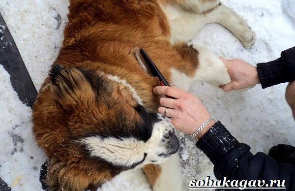 Сенбернар-собака-Описание-особенности-уход-и-цена-сенбернара-10