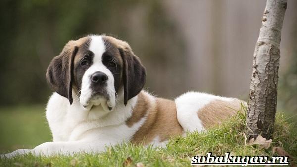 Сенбернар-собака-Описание-особенности-уход-и-цена-сенбернара-11