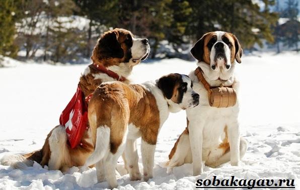 Сенбернар-собака-Описание-особенности-уход-и-цена-сенбернара-4