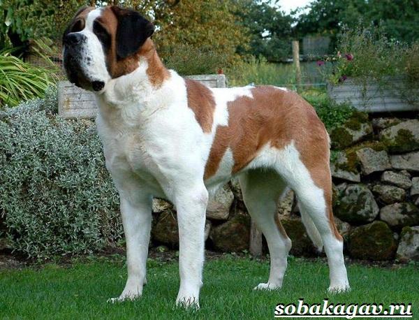 Сенбернар-собака-Описание-особенности-уход-и-цена-сенбернара-7
