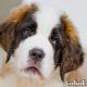 Сенбернар собака. Описание, особенности, уход и цена сенбернара