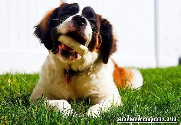 Сенбернар-собака-Описание-особенности-уход-и-цена-сенбернара-9