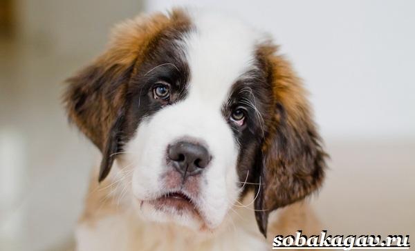 Сенбернар-собака-Описание-особенности-уход-и-цена-сенбернара