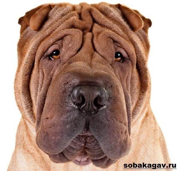 Шарпей-собака-Описание-особенности-уход-и-цена-шарпея-1