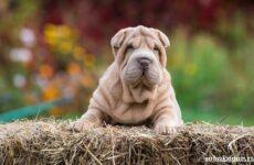 Шарпей собака. Описание, особенности, уход и цена шарпея