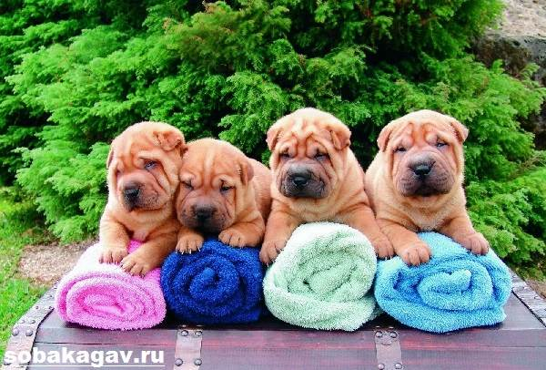 Шарпей-собака-Описание-особенности-уход-и-цена-шарпея-4