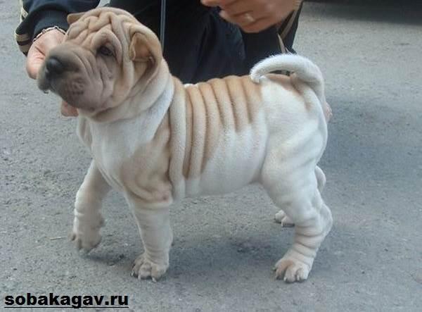Шарпей-собака-Описание-особенности-уход-и-цена-шарпея-5