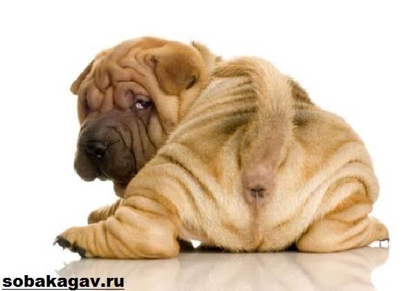 Шарпей-собака-Описание-особенности-уход-и-цена-шарпея-7