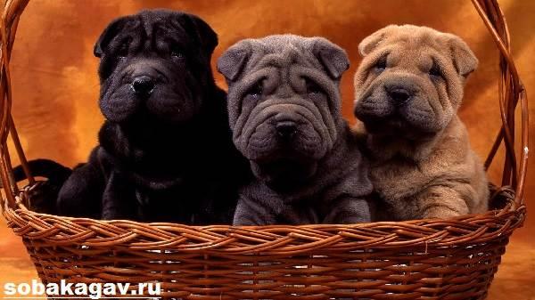 Шарпей-собака-Описание-особенности-уход-и-цена-шарпея-9