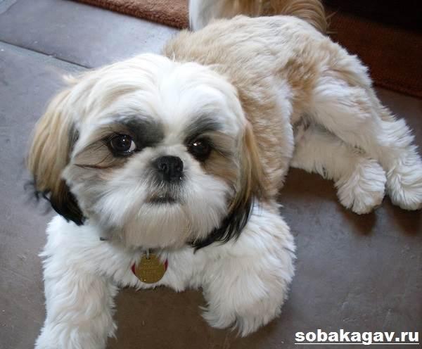 Ши-тцу-собака-Описание-особенности-уход-и-цена-ши-тцу-1