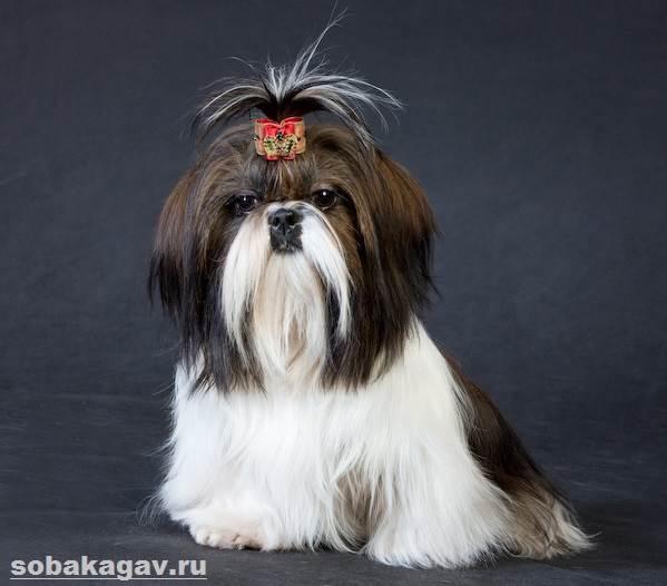 Ши-тцу-собака-Описание-особенности-уход-и-цена-ши-тцу-10