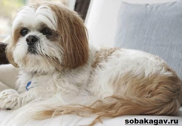 Ши-тцу-собака-Описание-особенности-уход-и-цена-ши-тцу-2