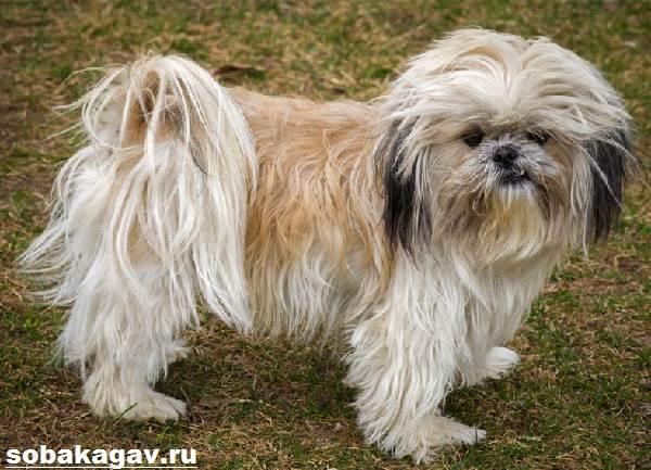 Ши-тцу-собака-Описание-особенности-уход-и-цена-ши-тцу-6