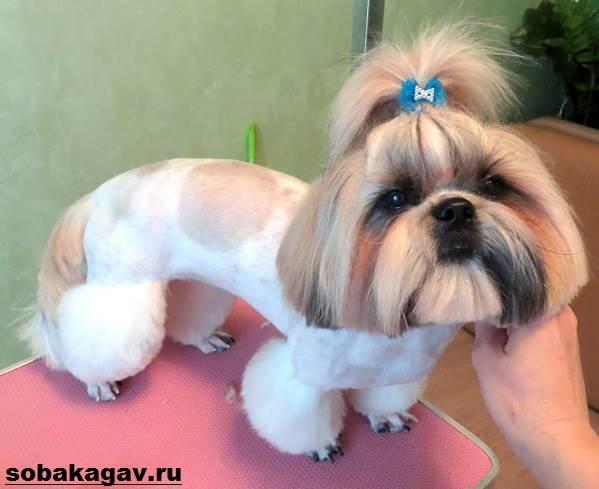 Ши-тцу-собака-Описание-особенности-уход-и-цена-ши-тцу-8