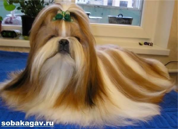 Ши-тцу-собака-Описание-особенности-уход-и-цена-ши-тцу-9