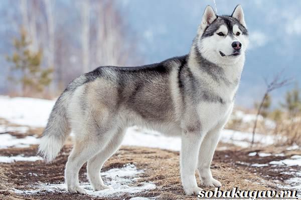 Сибирский-хаски-собака-Описание-особенности-уход-и-цена-сибирской-хаски-1