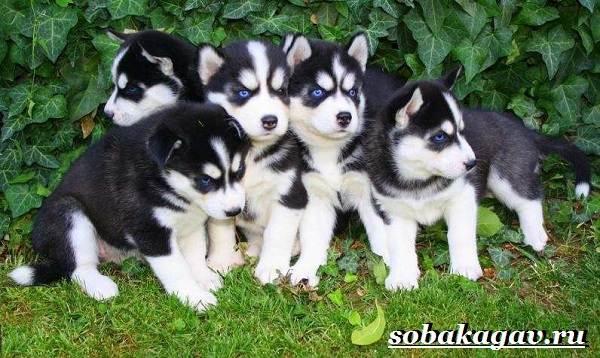 Сибирский-хаски-собака-Описание-особенности-уход-и-цена-сибирской-хаски-11