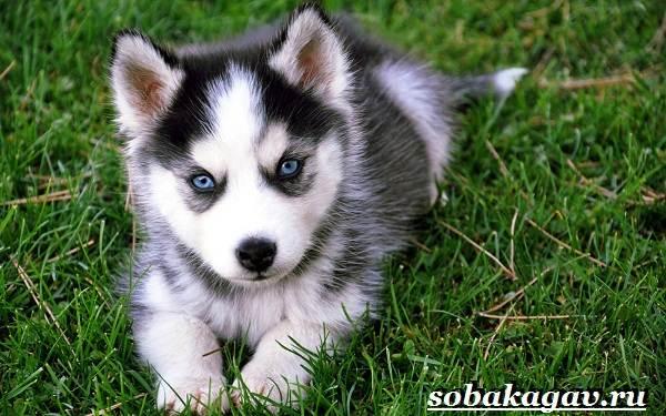 Сибирский-хаски-собака-Описание-особенности-уход-и-цена-сибирской-хаски-2