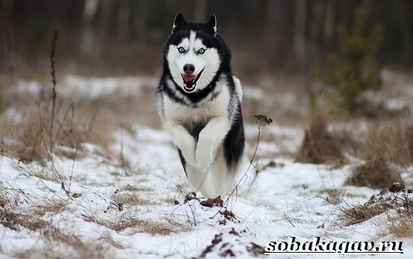 Сибирский-хаски-собака-Описание-особенности-уход-и-цена-сибирской-хаски-3