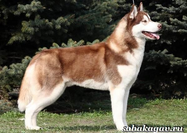 Сибирский хаски собака. Описание, особенности, уход и цена сибирской хаски