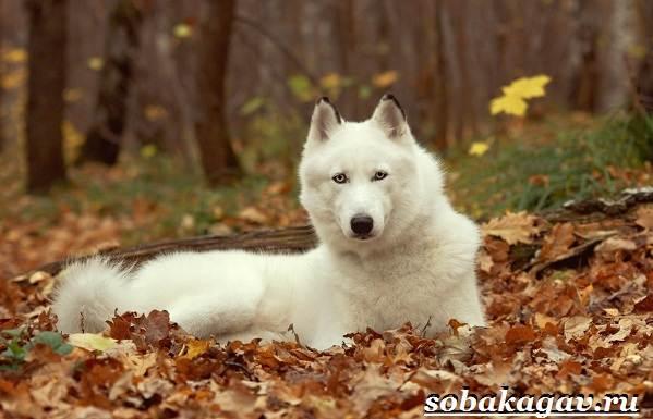 Сибирский-хаски-собака-Описание-особенности-уход-и-цена-сибирской-хаски-7