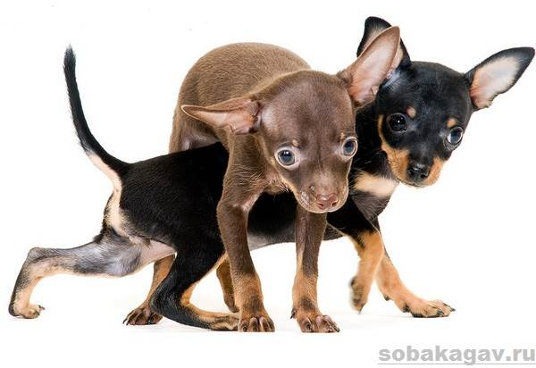 Той-терьер-собака-Описание-особенности-уход-и-цена-той-терьера-2