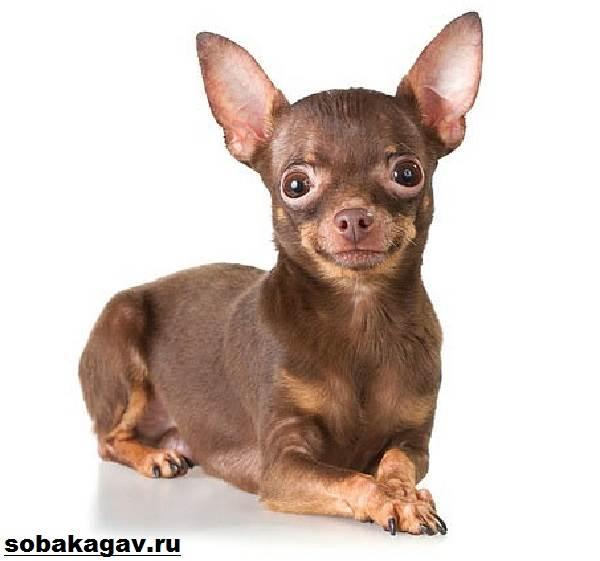 Той-терьер-собака-Описание-особенности-уход-и-цена-той-терьера-3