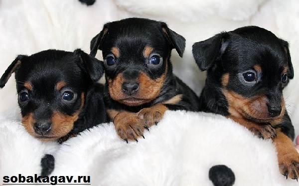 Той-терьер-собака-Описание-особенности-уход-и-цена-той-терьера-4