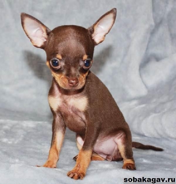 Той-терьер-собака-Описание-особенности-уход-и-цена-той-терьера-5
