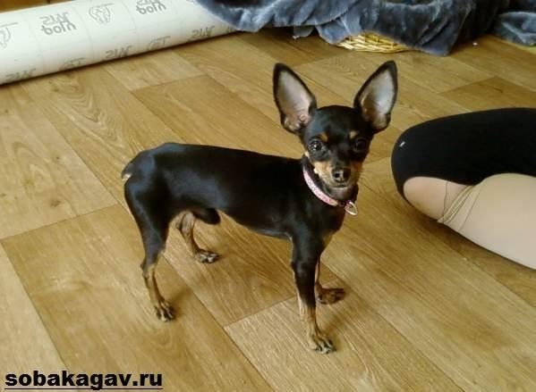 Той-терьер-собака-Описание-особенности-уход-и-цена-той-терьера-6