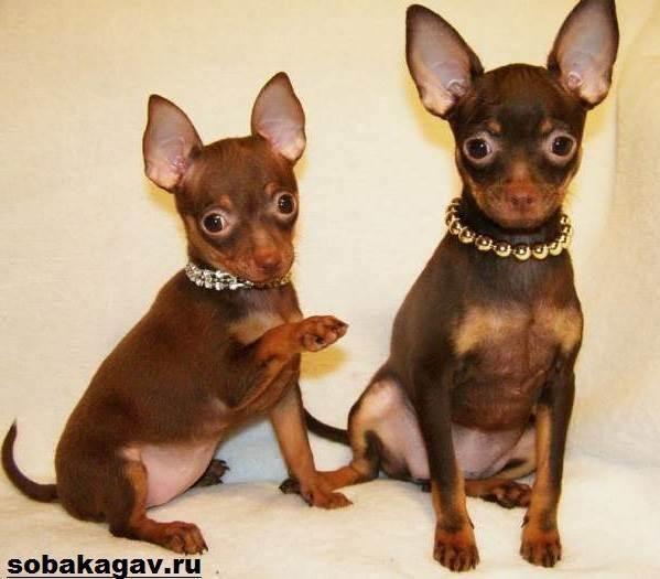 Той-терьер-собака-Описание-особенности-уход-и-цена-той-терьера-8