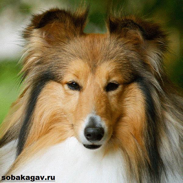 Шелти-собака-Описание-особенности-уход-и-цена-породы-шелти-15