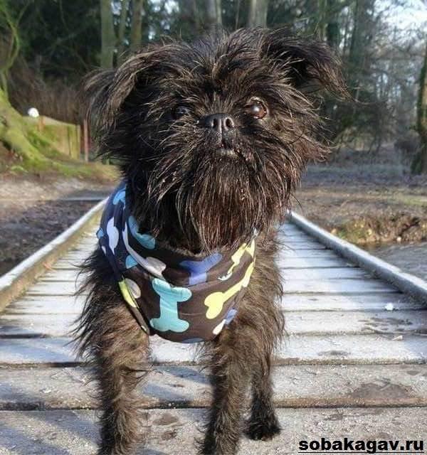 Аффенпинчер-собака-Описание-особенности-уход-и-цена-аффенпинчера-10