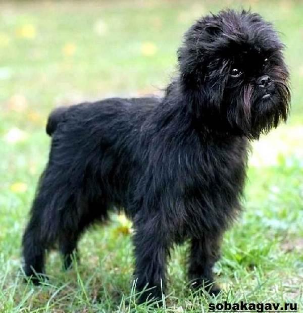 Аффенпинчер-собака-Описание-особенности-уход-и-цена-аффенпинчера-2