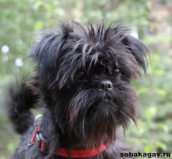 Аффенпинчер-собака-Описание-особенности-уход-и-цена-аффенпинчера-3