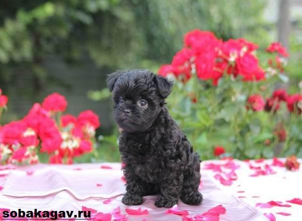 Аффенпинчер-собака-Описание-особенности-уход-и-цена-аффенпинчера-4