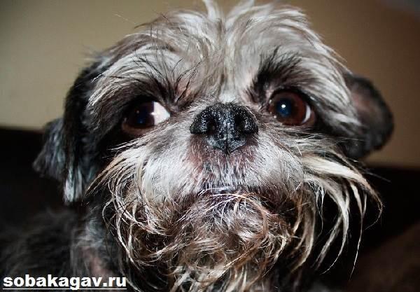 Аффенпинчер-собака-Описание-особенности-уход-и-цена-аффенпинчера-5
