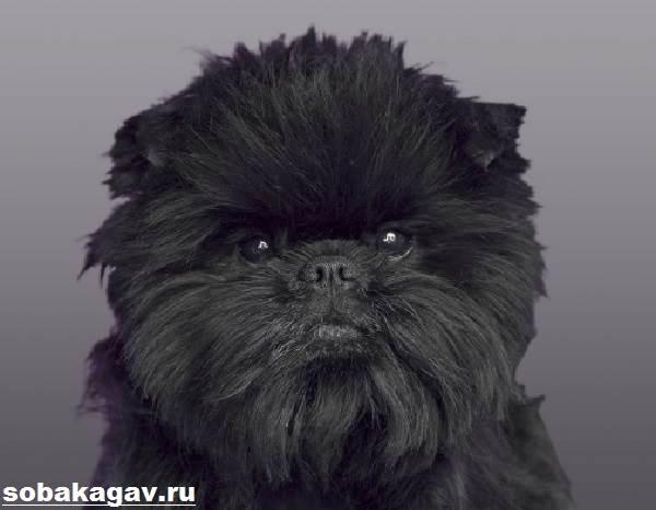 Аффенпинчер-собака-Описание-особенности-уход-и-цена-аффенпинчера-6