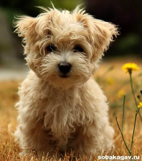Аффенпинчер-собака-Описание-особенности-уход-и-цена-аффенпинчера-7