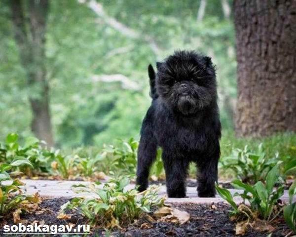 Аффенпинчер-собака-Описание-особенности-уход-и-цена-аффенпинчера-8