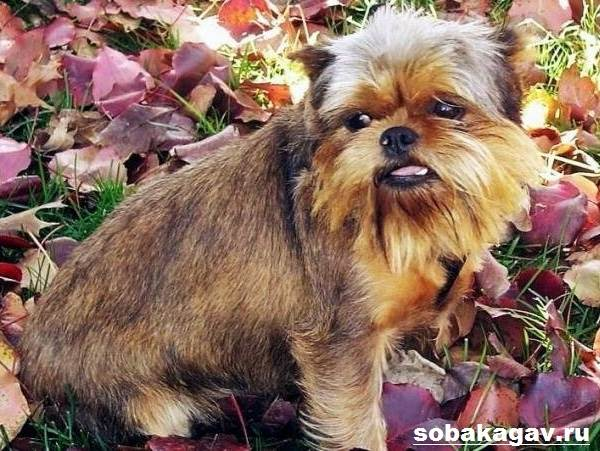 Аффенпинчер-собака-Описание-особенности-уход-и-цена-аффенпинчера-9
